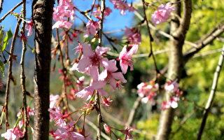 櫻花開了嗎?暖冬尋櫻草坪頭 探千年夫妻樹