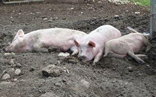 生猪养殖商净利巨亏4亿 股价却暴涨一度涨停