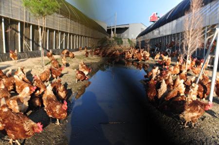 雅各牧場堅持用歐盟認可的「自由放牧養殖」方式,讓雞群在陽光下可以恣意奔跑,雞活得健康才會生下好雞蛋。