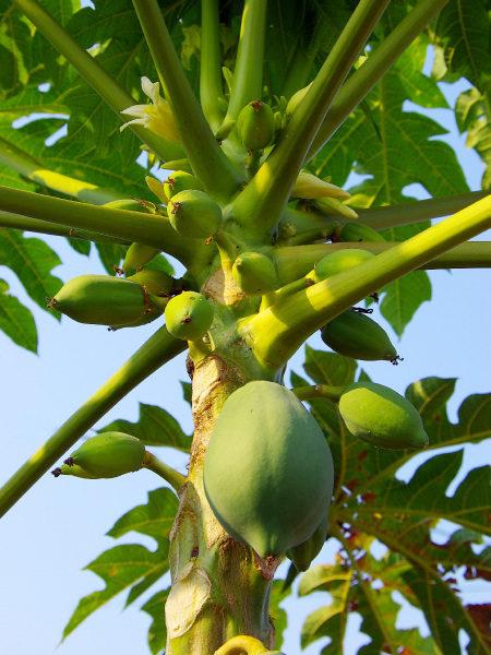 陈文亿表示,木瓜是全年度都可以采收的作物,以前一颗木瓜树有3年寿命,经过他品种改良后,一颗树可以活8年。图为木瓜树示意图。