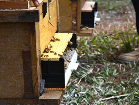 台灣的蜜蜂採的蜜是最甜美的,一個蜂箱可養6萬隻蜜蜂,50個蜂箱就有百萬大軍去採蜜。