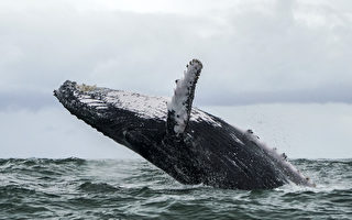 11米長座頭鯨陳屍亞馬遜叢林 原因成謎