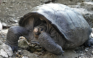 消失112年 厄瓜多尔巨龟再现