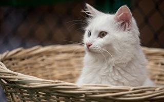 德国黑猫变白猫 主人对它的疼爱不减