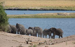 「不會輕易忘記你」 三百大象哀悼象王不捨離去