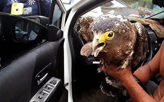 """员警拦查酒驾  意外拯救保育动物""""大冠鹫"""""""