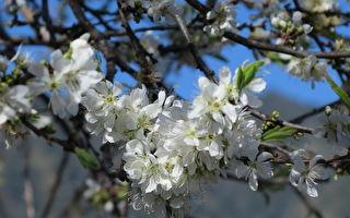 樱花开了吗?暖冬寻樱草坪头 探千年夫妻树