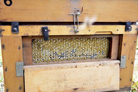 City bear生態農場養的黃金蜂會分泌綠色的蜂膠保護蜂巢,綠蜂膠是台灣獨特的產品,陳世雄推測可能是來至採集的桑葚花粉。