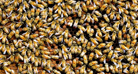 City bear生態農場住著48箱義大利黃金蜂,來自義大利的金黃色蜜蜂個性溫馴而且工作效率高,被陳世雄稱作世上最完美的昆蟲。