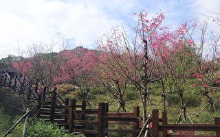 樹林大同山櫻花開八成 來趟登山輕旅行