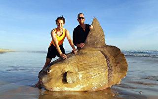 长1.8米像艘船 澳洲巨大翻车鱼照片热传
