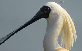 组图:黑面琵鹭之美 换繁殖羽美丽金毛吸睛