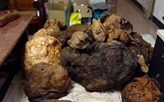 山老鼠猖獗 嘉義警緝獲黑市價2000萬樹瘤