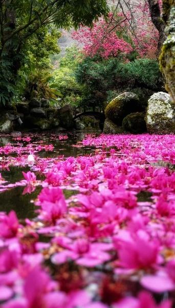 「落櫻繽紛」宛若夢境 武陵農場櫻花之美