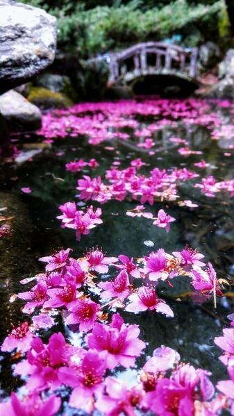 組圖:「落櫻繽紛」若夢境 武陵農場櫻花之美
