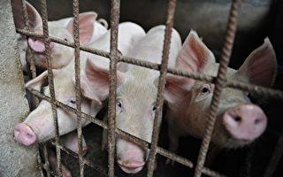 加国禁止进口中国猪肉产品 防非洲猪瘟病毒
