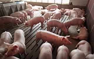 猪瘟重创养猪业 中国被迫大量购买美国猪肉