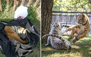虎崽现身尼龙袋奄奄一息 幸福安家结伴白小弟