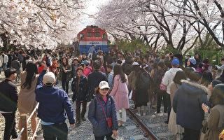 三十六万株樱花竞放 韩国镇海军港庆典