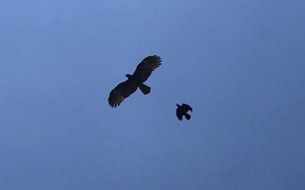 乌鸦追赶老鹰 猛禽落荒而逃