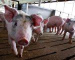 广东局地能繁母猪减少8成 猪肉供应缺口大