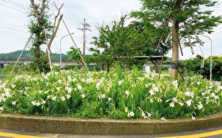 大古山野百合花季  美丽的白色浪潮
