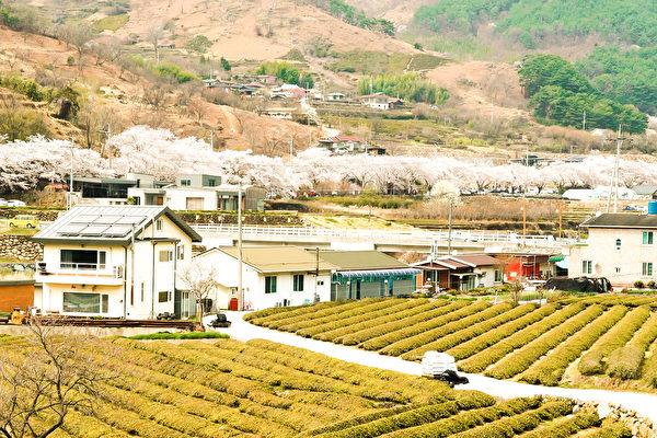 韩国河东举行樱花庆典