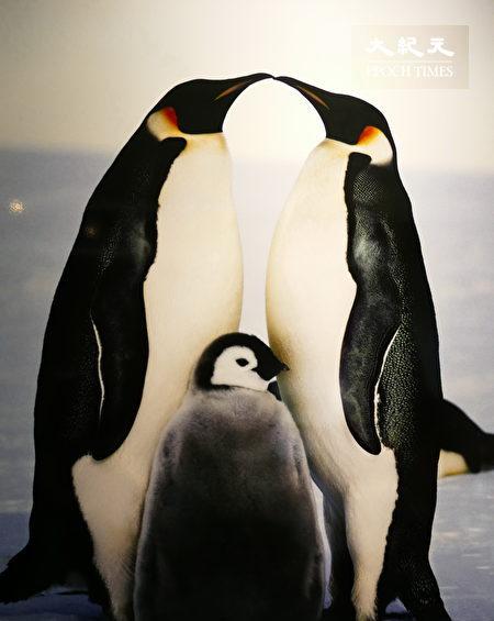 皇帝企鹅夫妻经百里觅食,喂食幼鸟后的亲密模样。