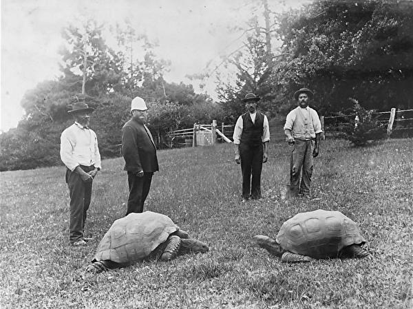 陸龜強納森1900年資料照,那時牠已經68歲了。(公有領域)