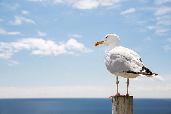 史上首次 比利時舉辦模仿海鷗尖叫比賽