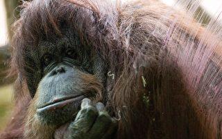 家园被拆毁 印尼猩猩要和推土机拚命