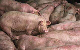 传朝鲜也出现非洲猪瘟 死了很多猪