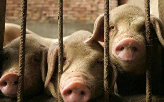 中共说非洲猪瘟疫情可控 经济学家反驳