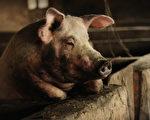 中共无力控制猪瘟 疫情严重冲击养猪业