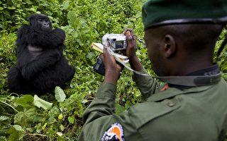 刚果大猩猩学人自拍 背后有故事