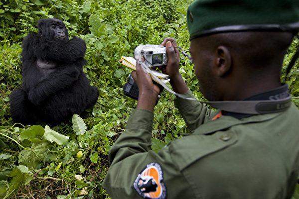 剛果大猩猩學人自拍 背後有故事