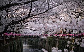 组图:东京市区突然出现樱花道 美极了