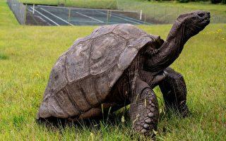 圣赫勒拿岛上187岁的陆龟强纳森有望打破吉尼斯世界纪录,成为史上最长寿乌龟。(GIANLUIGI GUERCIA/AFP/Getty Images)