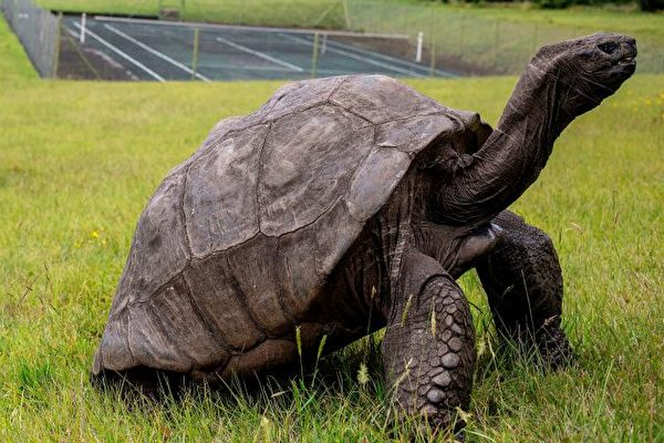 聖赫勒拿島上187歲的陸龜強納森有望打破吉尼斯世界紀錄,成為史上最長壽烏龜。(GIANLUIGI GUERCIA/AFP/Getty Images)