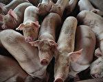 广东兽医站为病猪开绿色通道 污染养殖业