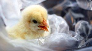 6岁童掏光积蓄救小鸡 网赞比大人有担当