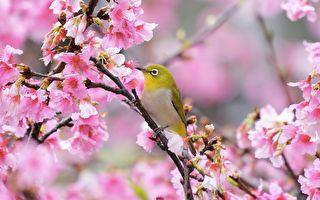 """台湾""""青笛仔"""" 徜徉在粉红樱花海的绿绣眼"""
