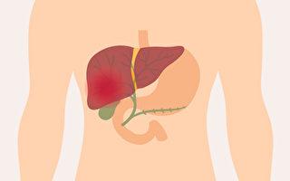 中医治疗脂肪肝,必须从肝胆、脾胃等脏腑系统同时调整。(Shutterstock)