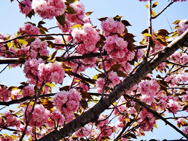 日本东京浅草复瓣樱花。(蓝海/大纪元)