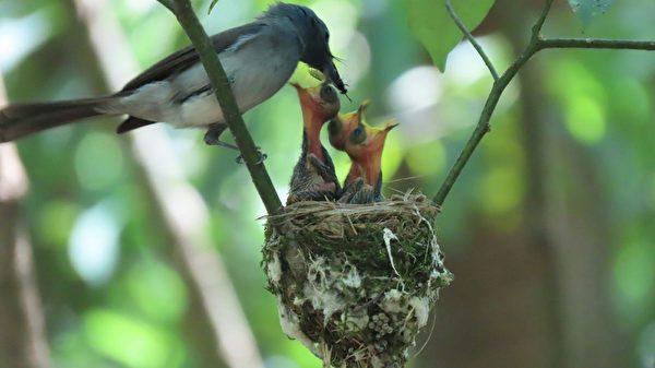 組圖:母親節將至 黑枕藍鶲育雛見母愛溫馨