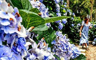 赏绣球花之美秘径 青山农场观花团锦簇