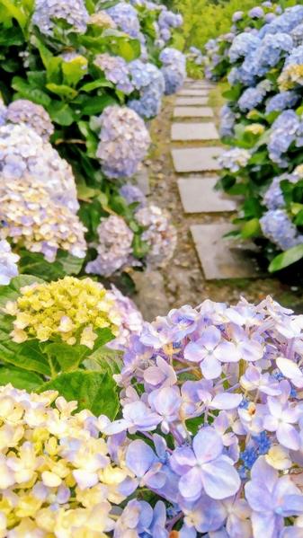 賞繡球花之美秘徑 青山農場觀花團錦簇