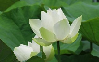组图:台南白河莲花季 摄影师捕捉唯美花姿