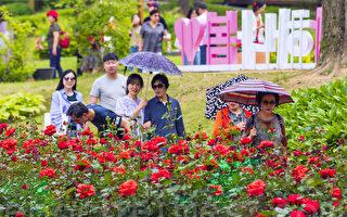 组图:首尔大公园玫瑰盛开 成赏花人气景点