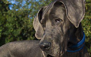 7位兽医接生 大丹犬诞下19只可爱狗崽